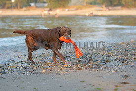 chocolate lab with gray muzzle coming out of the water carrying orange toy in mouth