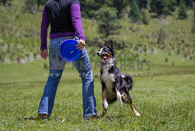 funny tricolour Border Collie standing on hind paws waiting for frisbee