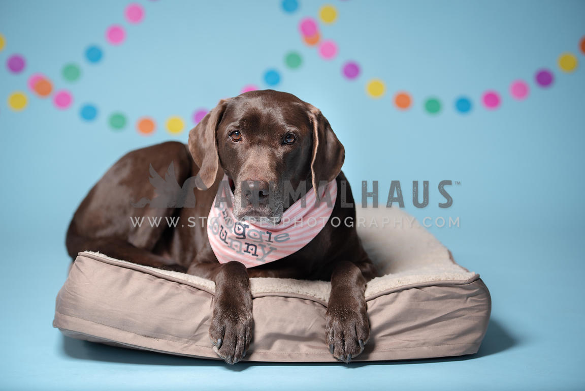 chocolate lab laying on dog bed wearing pink snuggle bunny bandana