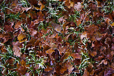 Oak leaves lying on the frosty grass