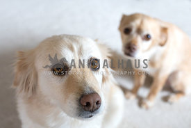 Excited golden retriever dog and shy chihuahua dog looking straight to the camera