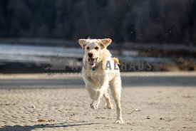 Yellow labradoodle running on the beach