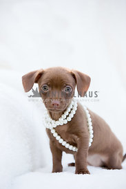tiny puppy sitting with pearls around neck