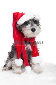 cute Schnauzer puppy dressed with red santa hat and scarf
