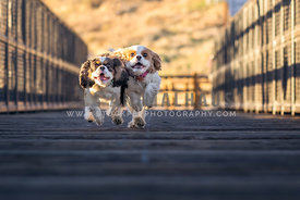 two cavaliers run across a bridge at sunset