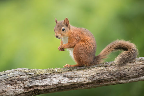 A simple Red Squirrel portrait, but how can you say no?!