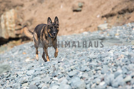 German Shepherd running on a rocky beach