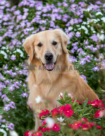 golden retriever smiling at the camera surrounded by flowers