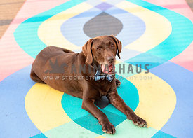 chocolate lab in bow tie lying down on colorful painted sidewalk