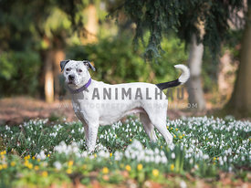 White and black Staffordshire terrier amongst snowdrops