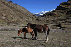 Horse and foal standing in valley below snowy peaks, Cordillera Apolobamba , Bolivia