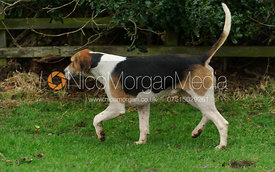 Bedale hounds at the meet - Bedale at Tunstall, Catterick