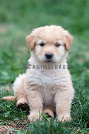 Portrait of young golden puppy
