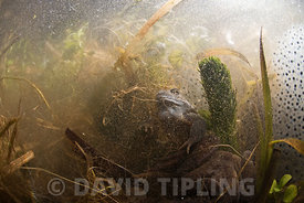Common Frogs Rana temporaria and spawn in pond West Runton North Norfolk March