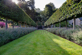 Pleached beech hedge underplanted with Nepeta