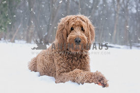 Gentle brown golden doodle dog sitting in the snowfall in beautiful forest setting