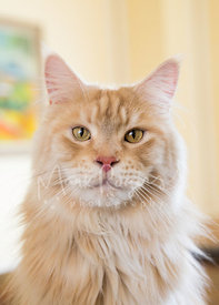 Close-up Portrait of Red Silver Maine Coon Cat with Yellow Eyes and ear tufts