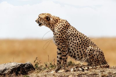 Profile of Cheetah Sitting in Kenya Africa
