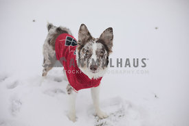 australian shepherd in red sweater playing in the snow