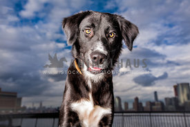 border collie black dog with city skyline