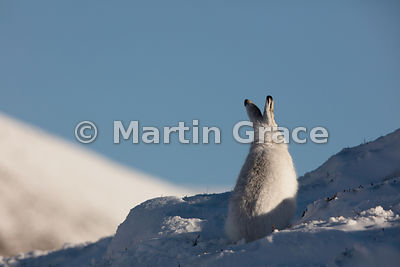 Mountain Hare (Arctic Hare) (Lepus timidus) sitting in the warming sunlight, in snow, February 13, Strathdearn, Scottish High...