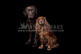 labrador and spaniel looking to camera on black backdrop