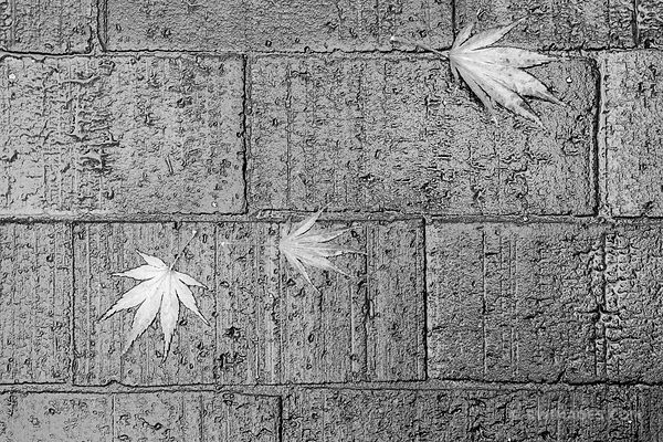 SEATTLE RAIN AUTUMN LEAVES BLACK AND WHITE