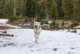 Happy Yellow Lab runs in snow