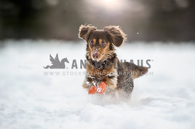 Daschund running in the snow