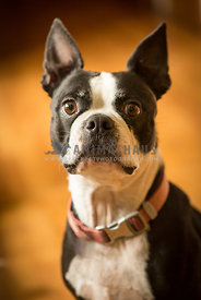 black and white Boston terrier dog indoors sitting waiting wearing red collar
