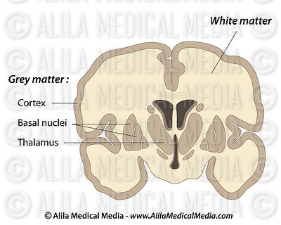 Grey and white matters of the brain