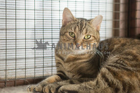 Tabby cat lying in rescue shelter pen