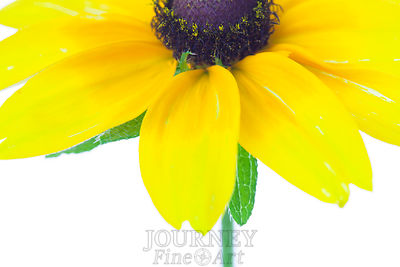Black Eyed Susan Above