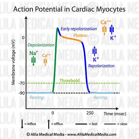 Action potential in cardiac contractile cells