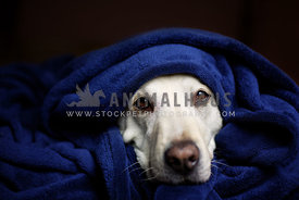 labrador wrapped in blanket looking at camera