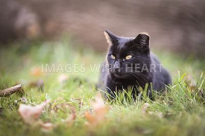 Black_Cat_In_Grass