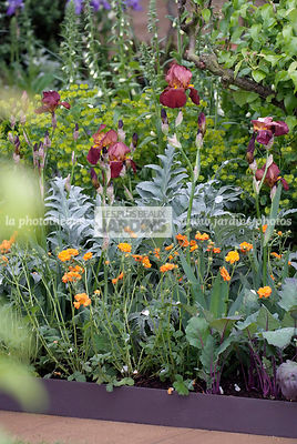 Association : Iris germanica 'Action Front', Geum spp., Cynara scolymus (artichaut), Vivace rhizomateuse, Paysagiste : Adam F...