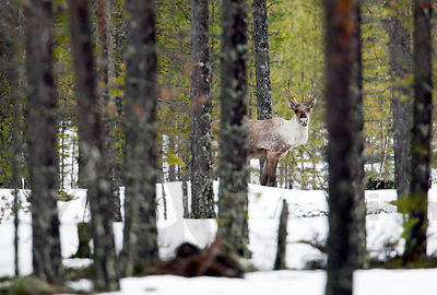 Wild Forest Reindeers Are Back in The Salamajärvi National Park after Winter