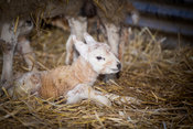 Newborn lamb laying down on straw shortly after being born