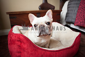 french bulldog or frenchie sitting on red dog bed in bedroom