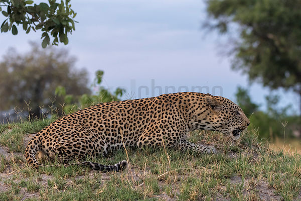Male Leopard Making a Territorial Call