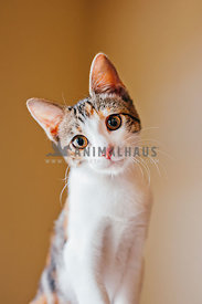 small tri-color kitten sits with head tilted and eye contact