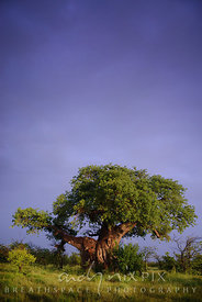 One baobab tree against dark purple storm sky