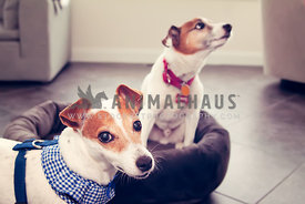 jack russell terrier siblings in sunroom