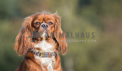Cavalier King Charles Spaniel head shot outdoors against green background