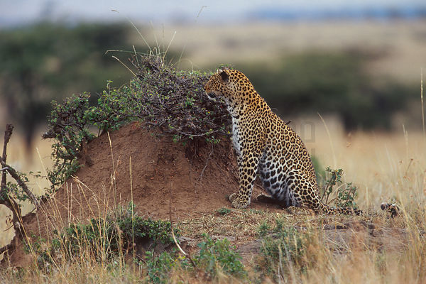 Leopard Using a Termite Mound as Cover
