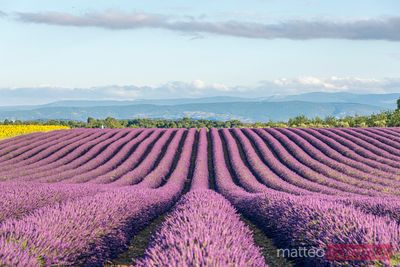 Rows of lavender in full bloom in summer, Provence, France