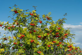 A rowan tree with lots of ripe berries.