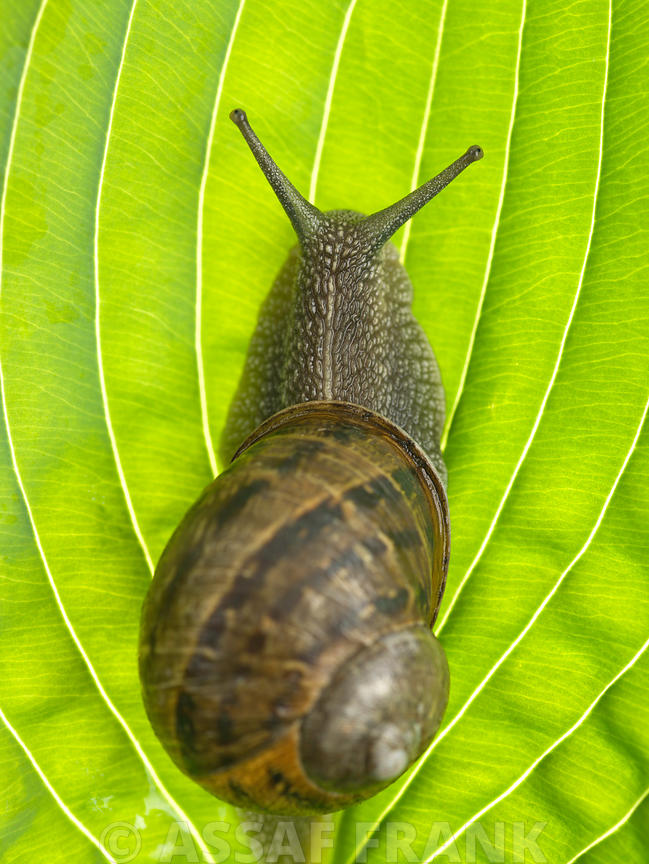 Snail on leaf, close-up