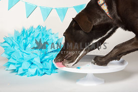 dog licking cake platter close up